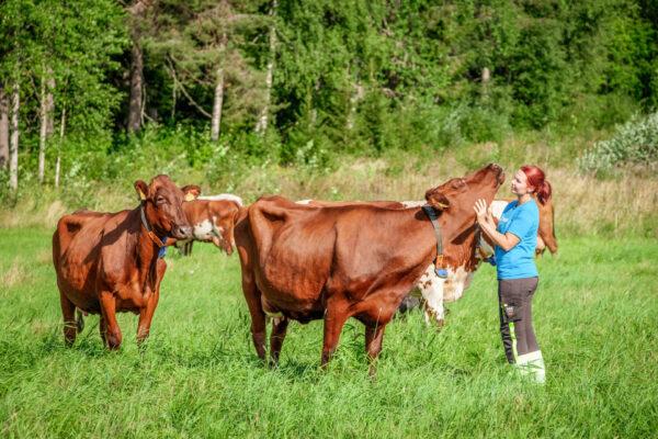 Lehmiä ja nuori nainen laitumella.